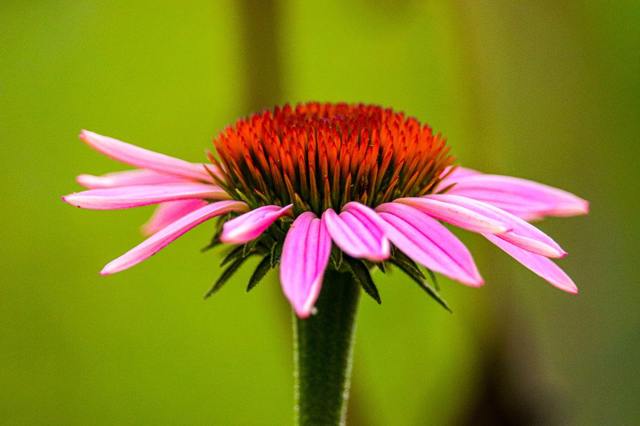 herb, echinacea